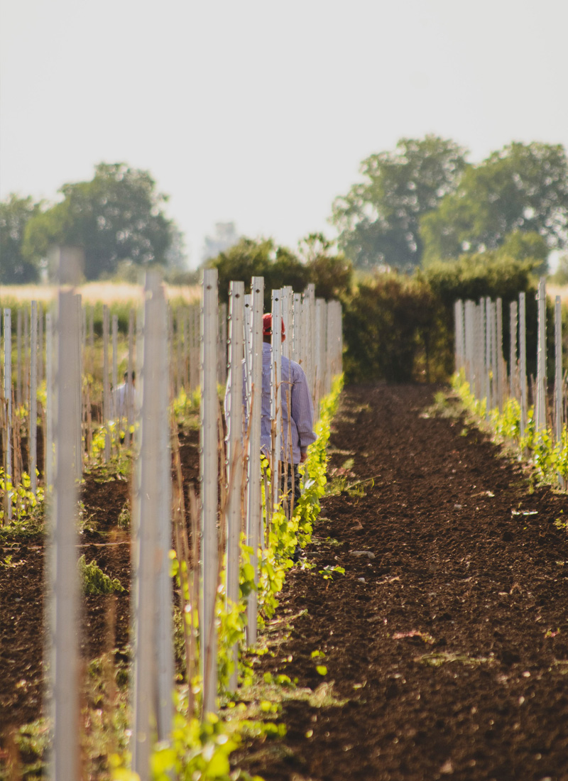 αμπελωνες βιολογικης καλλιεργειας, αμπελωνες φαρσαλα, αμπελωνες λαρισα, αμπελωνες θεσσαλια, κρασι ροζε, κρασι λευκο